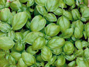 basil plant image